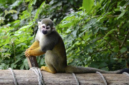 capuchin monkey herr nilson