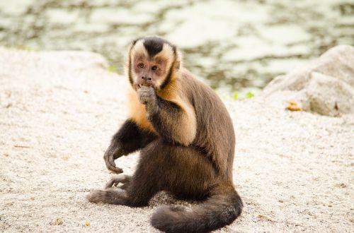 capuchin monkey äffchen