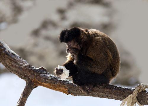 capuchin monkey capuchins