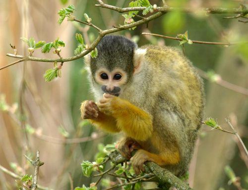 capuchin monkey animal