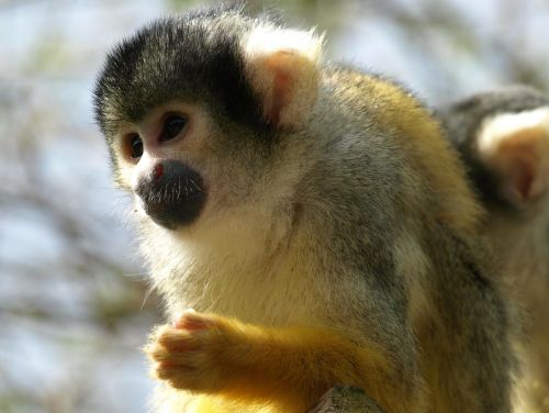 capuchin capuchins monkey