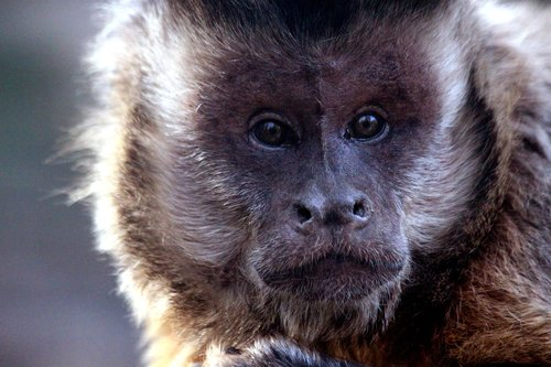 capuchin  primacy  monkey