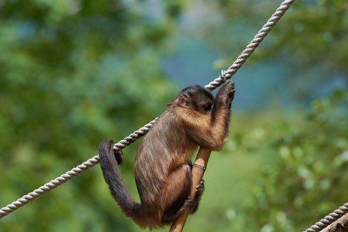 capuchin  monkey  rope
