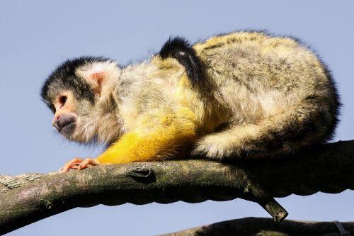 capuchin animal monkey