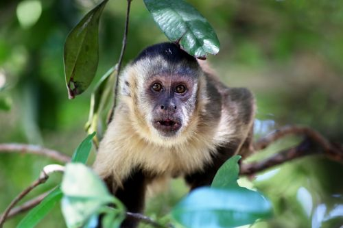 capuchin monkey looking habitat