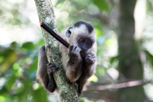 capuchin monkey feeding primate