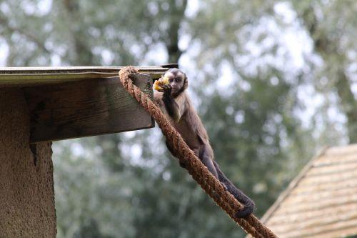 capuchin monkey zoo mammal