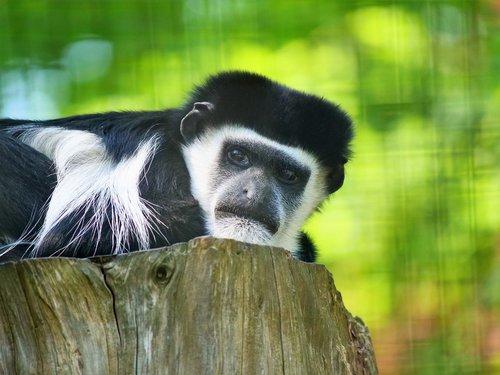 capuchin monkey  monkey  capuchin