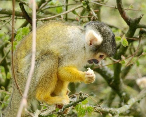 capuchins monkey capuchin