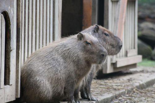 capybara south america zoo