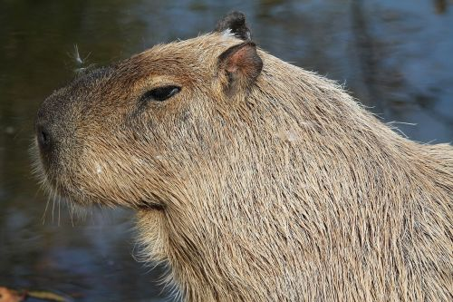 capybara animal mammal