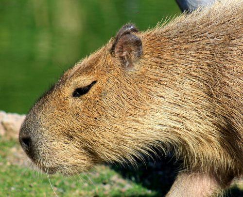 capybara rodent zoo