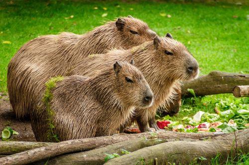 capybara group eat