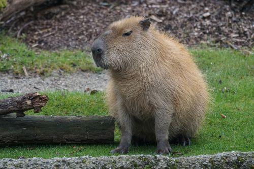 capybara rodent herbivores