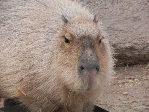 capybara rodent albuquerque zoo