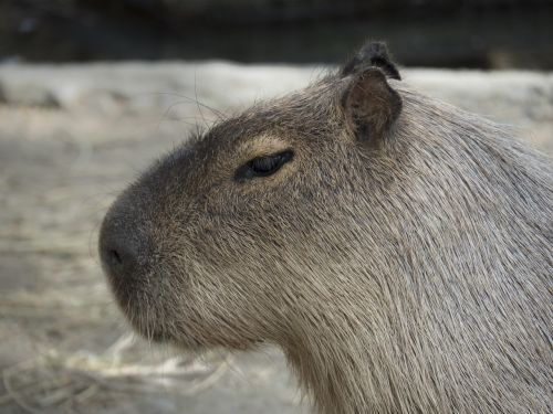 capybara rodent giant rodent
