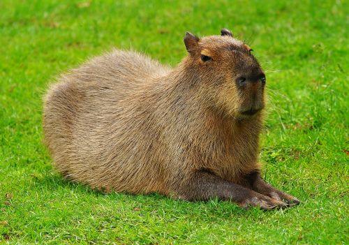 capybara rodent guinea pig