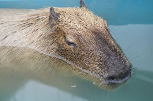 capybara harvest hills my
