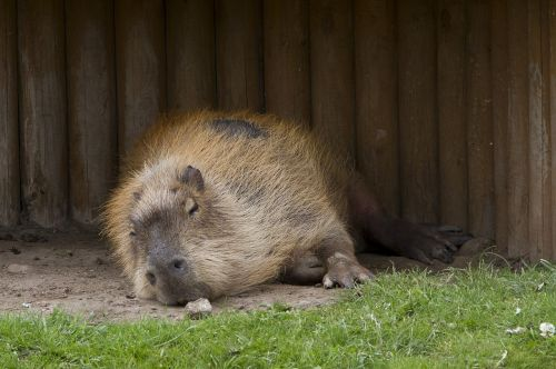 capybara rodent wildlife