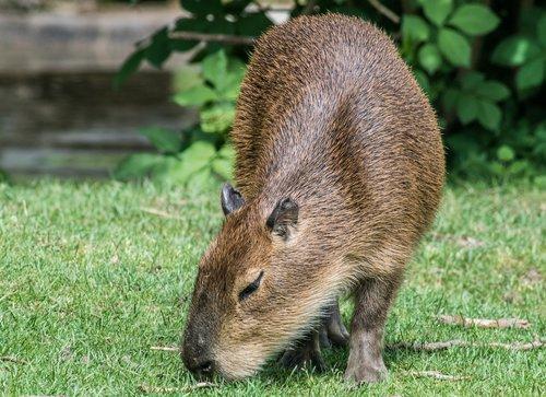 capybara  rodent  mammal