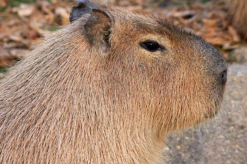 capybara rodent animal