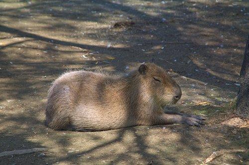 capybara  zoo  resting