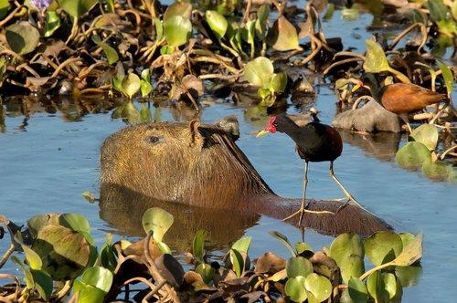 capybara  rodent  jacana