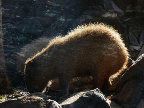 capybara animal hydrochoerus hydrochaeris