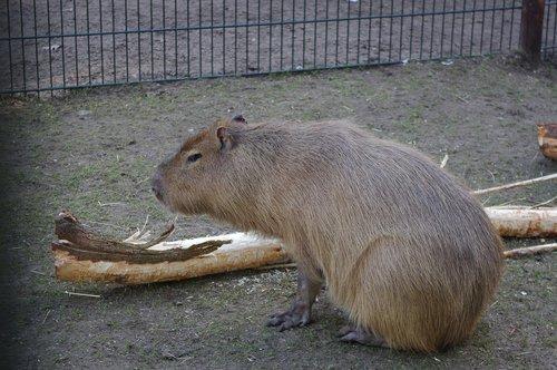 capybara  zoo  mammal
