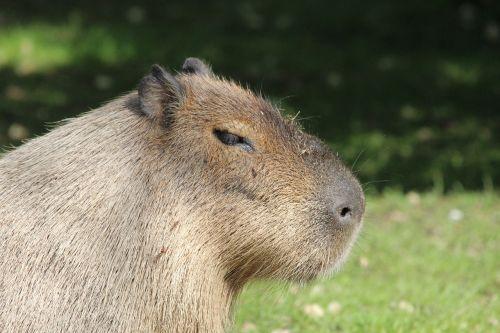 capybara rodent hydrochoerus hydrochaeris
