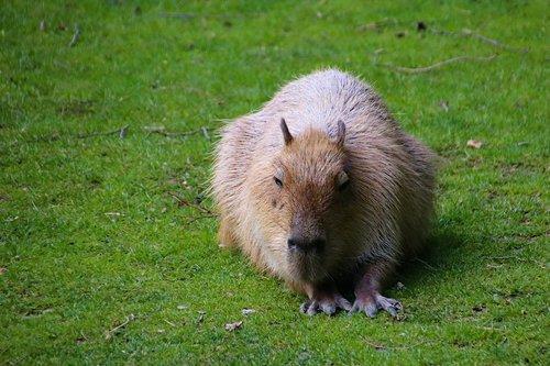 capybara  rodent  large