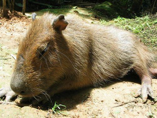 capybara jungle peru