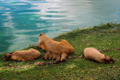 capybara animal lake