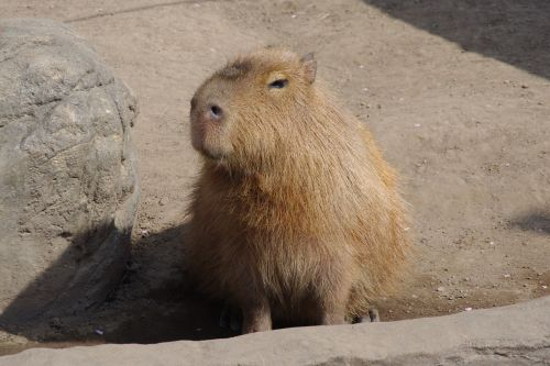 capybara eye-rolling smiley tweets from a pupil