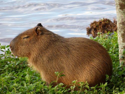 capybara nature animal
