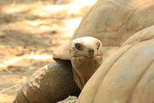 carapace  turtle  reptile
