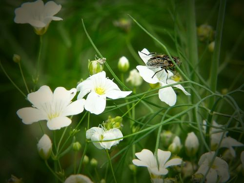 cardamine fly flowering plant
