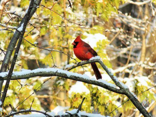 cardinal male bird
