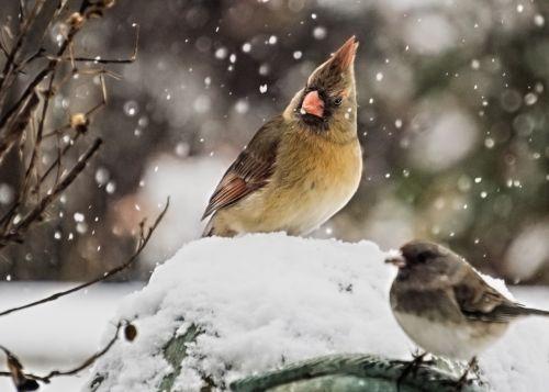 cardinal female cardinal bird