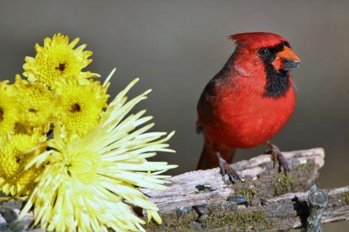 Cardinal And Yellow Mums 2
