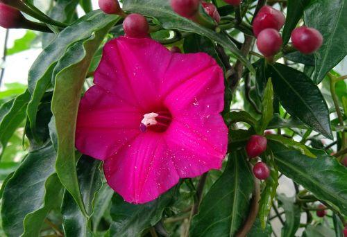 cardinal creeper flower vine