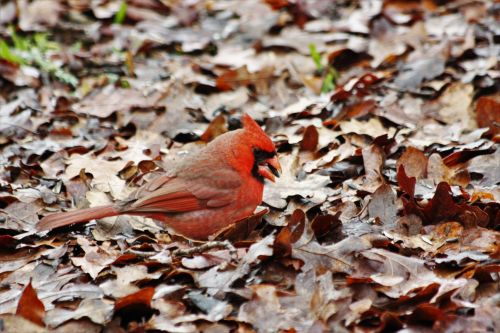 Cardinal In Autumn Leaves