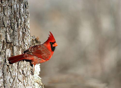 Cardinal In Winter Border