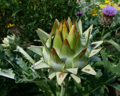 cardunculus scolymus globe artichoke thistle