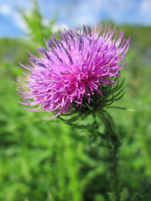 carduus acanthoides spiny plumeless thistle welted thistle