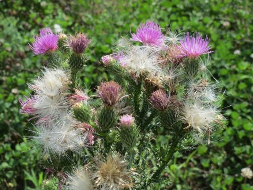 carduus acnathoides spiny plumeless thistle welted thistle