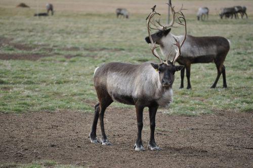 karibu,šiaurės elniai,gyvūnai,laukinė gamta,gamta,laukiniai,antlers