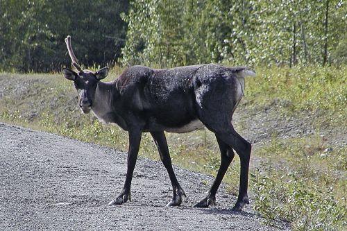 caribou antler wild