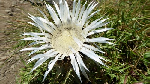 carlina  flower  thistle