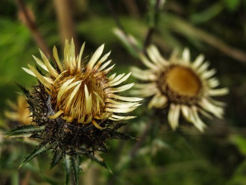carlina vulgaris flower wild